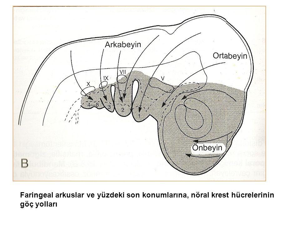 Faringeal arkuslar ve yüzdeki son konumlarına, nöral krest hücrelerinin