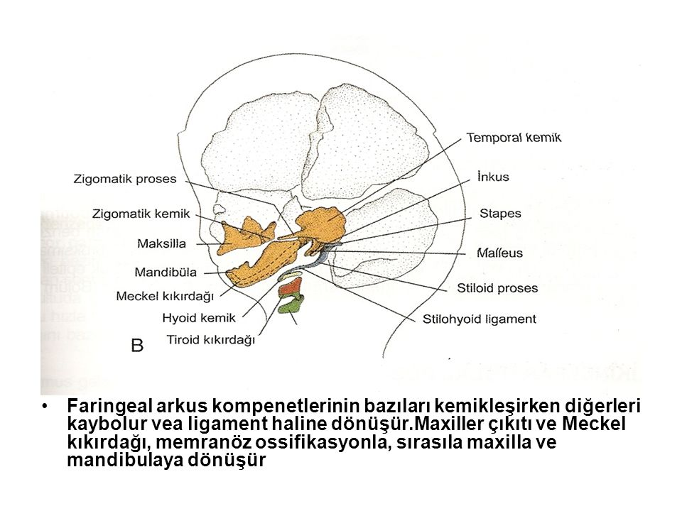 Faringeal arkus kompenetlerinin bazıları kemikleşirken diğerleri kaybolur vea ligament haline dönüşür.Maxiller çıkıtı ve Meckel kıkırdağı, memranöz ossifikasyonla, sırasıla maxilla ve mandibulaya dönüşür