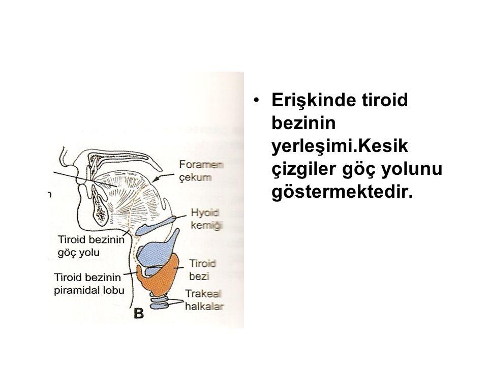 Erişkinde tiroid bezinin yerleşimi