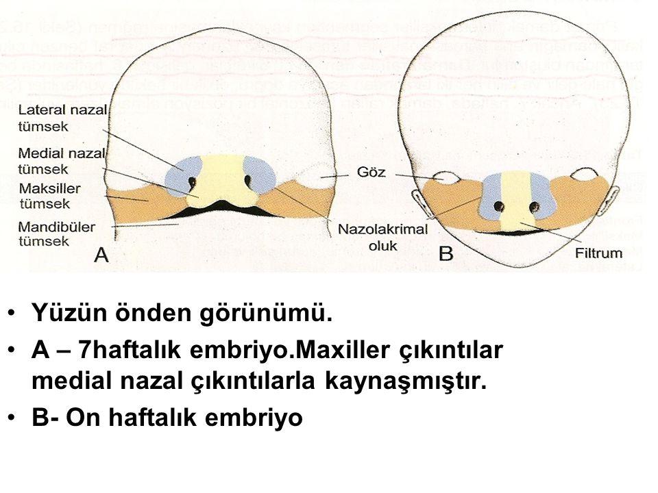 Yüzün önden görünümü. A – 7haftalık embriyo.Maxiller çıkıntılar medial nazal çıkıntılarla kaynaşmıştır.