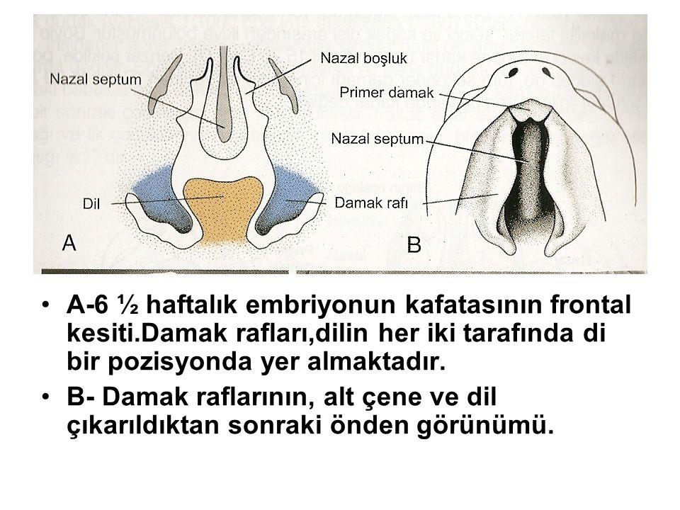 A-6 ½ haftalık embriyonun kafatasının frontal kesiti