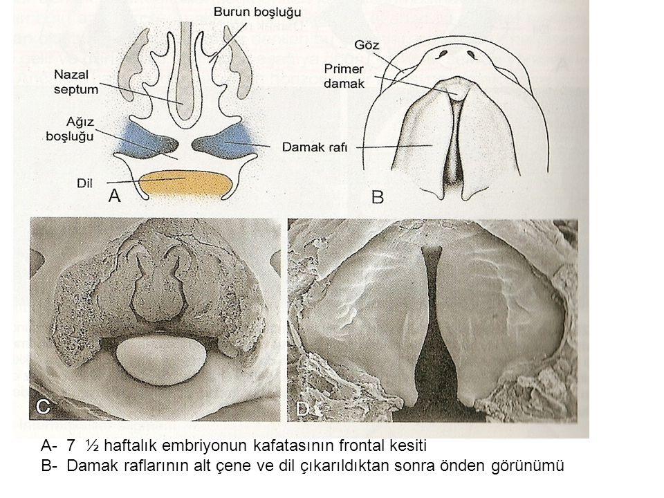A- 7 ½ haftalık embriyonun kafatasının frontal kesiti