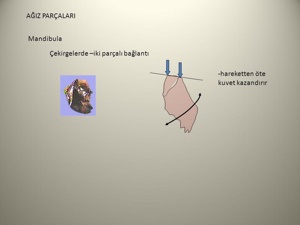 AĞIZ PARÇALARI Mandibula Çekirgelerde –iki parçalı bağlantı -hareketten öte kuvet kazandırır
