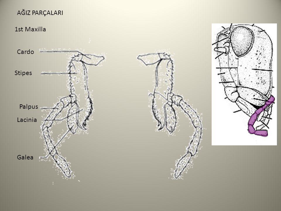 AĞIZ PARÇALARI 1st Maxilla Cardo Stipes Palpus Lacinia Galea