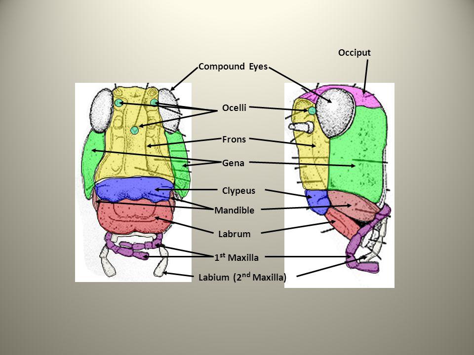 Occiput Compound Eyes Ocelli Frons Gena Clypeus Mandible Labrum 1st Maxilla Labium (2nd Maxilla)