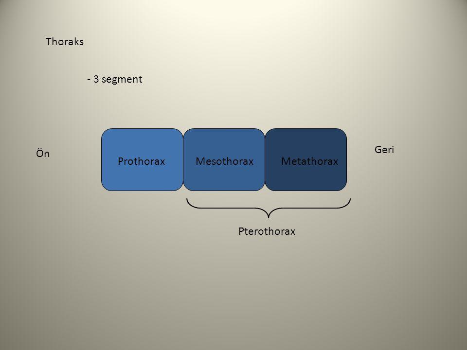 Thoraks - 3 segment Geri Ön Prothorax Mesothorax Metathorax Pterothorax