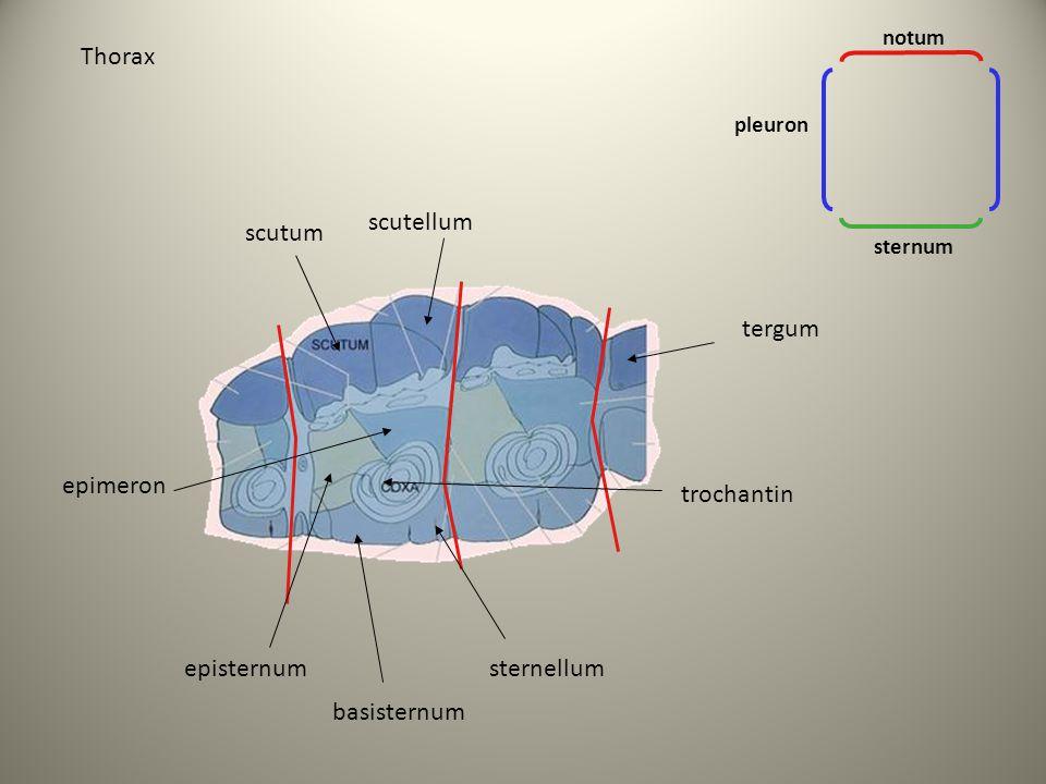 Thorax scutellum scutum tergum epimeron trochantin episternum