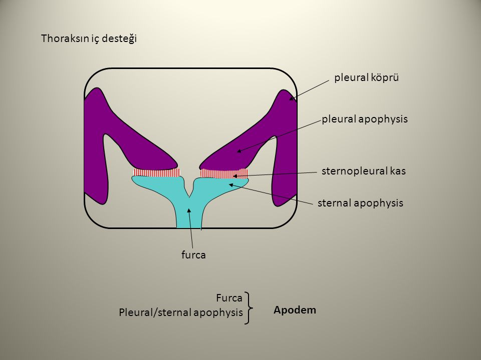 Thoraksın iç desteği pleural köprü. pleural apophysis. sternopleural kas. sternal apophysis. furca.