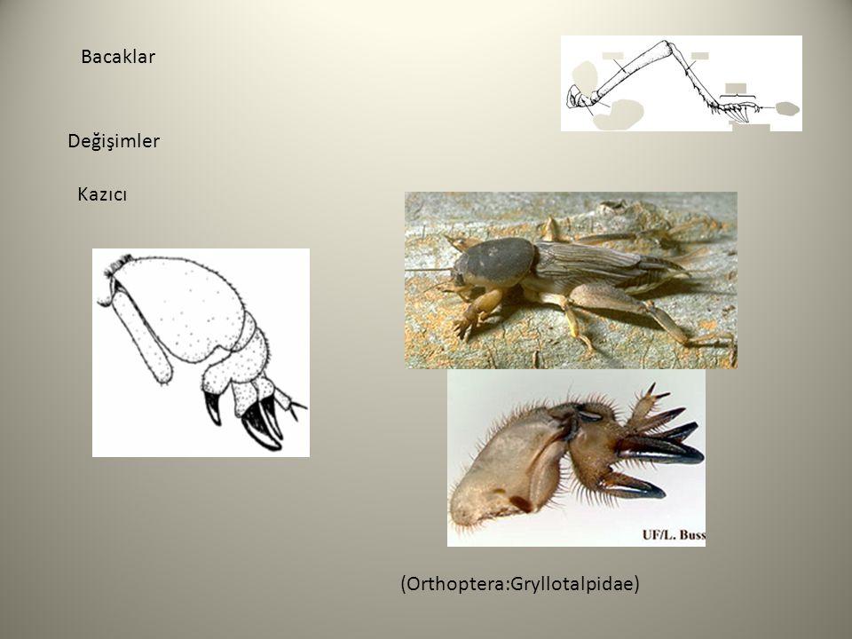 Bacaklar Değişimler Kazıcı (Orthoptera:Gryllotalpidae)