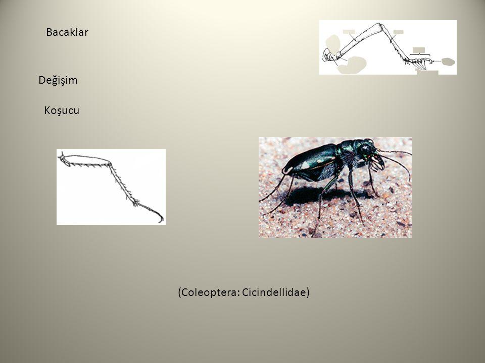 Bacaklar Değişim Koşucu (Coleoptera: Cicindellidae)