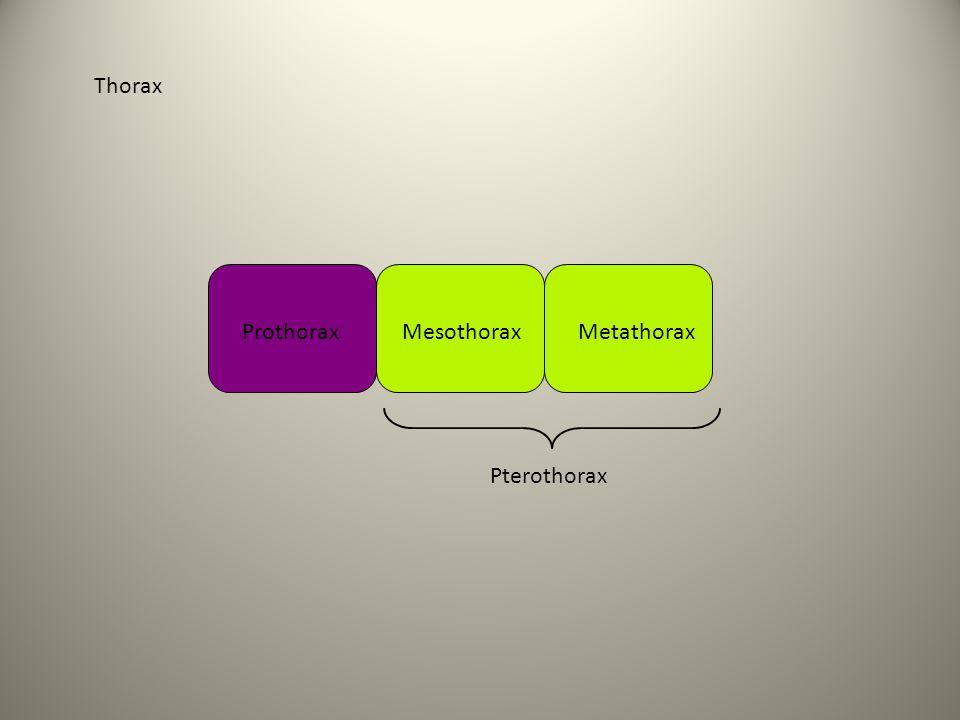 Thorax Prothorax Mesothorax Metathorax Pterothorax