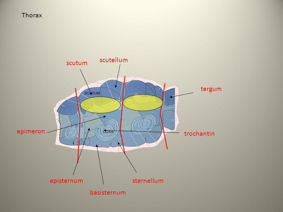 Thorax scutellum scutum tergum epimeron trochantin episternum sternellum basisternum