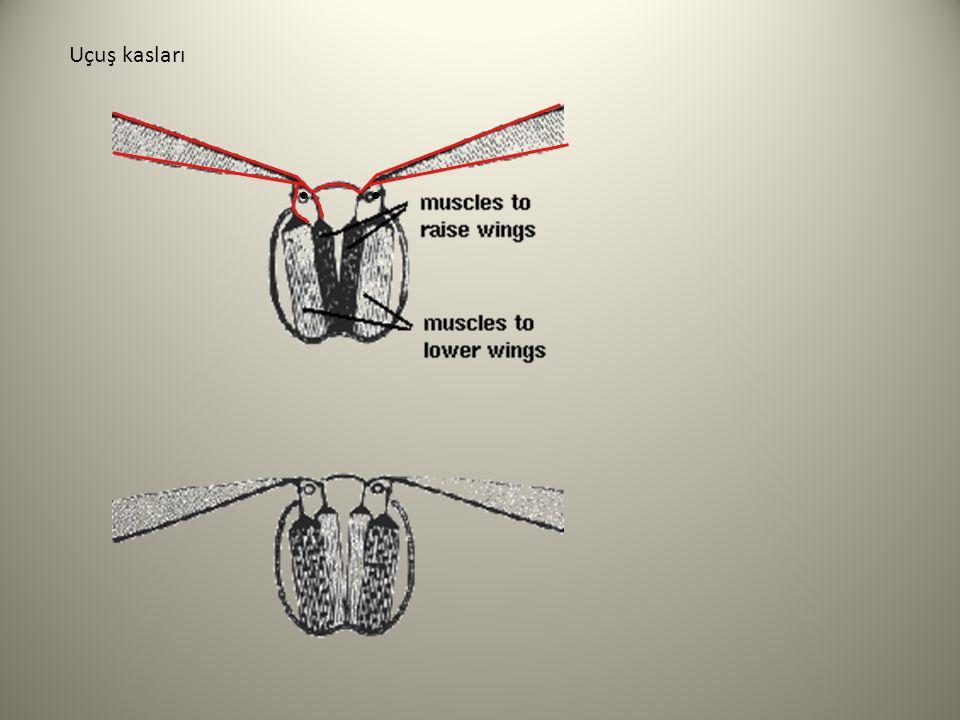 Uçuş kasları • •