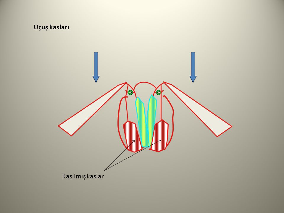 Uçuş kasları Kasılmış kaslar