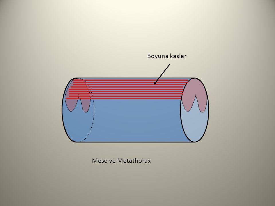 Boyuna kaslar Meso ve Metathorax