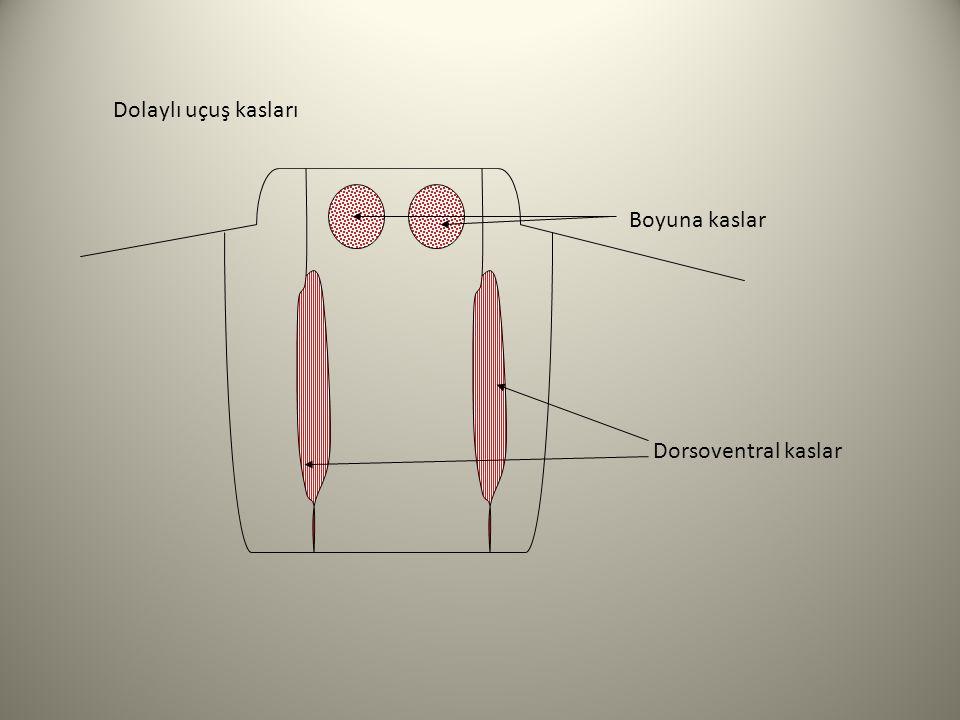Dolaylı uçuş kasları Boyuna kaslar Dorsoventral kaslar
