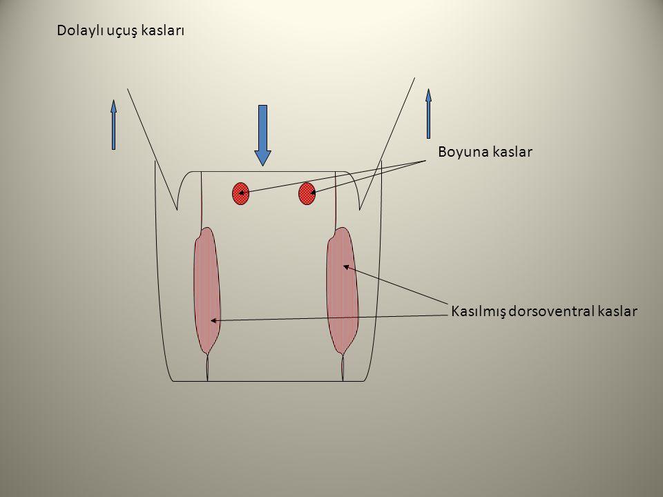 Dolaylı uçuş kasları Boyuna kaslar Kasılmış dorsoventral kaslar