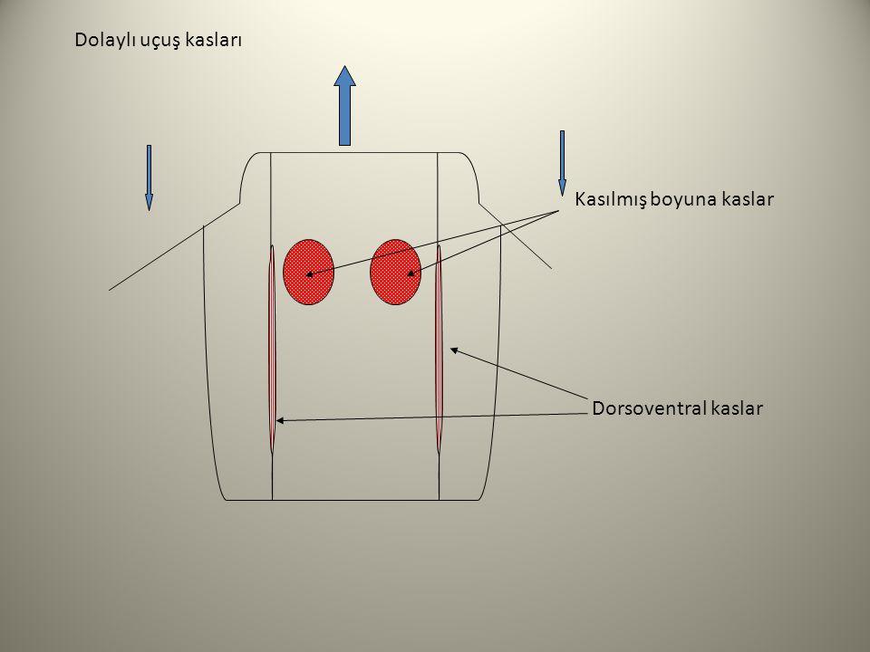 Dolaylı uçuş kasları Kasılmış boyuna kaslar Dorsoventral kaslar