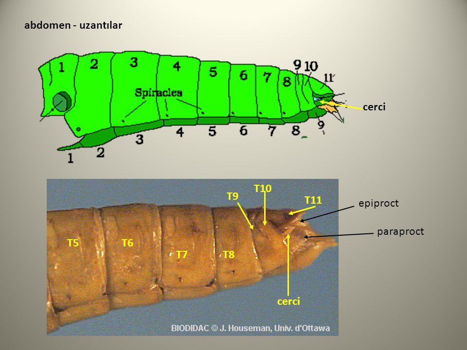 abdomen - uzantılar cerci T10 T9 T11 epiproct paraproct T5 T6 T7 T8 cerci