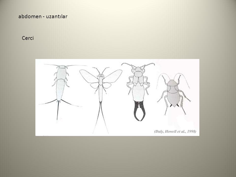abdomen - uzantılar Cerci