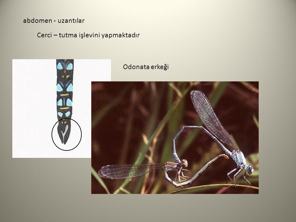 abdomen - uzantılar Cerci – tutma işlevini yapmaktadır Odonata erkeği