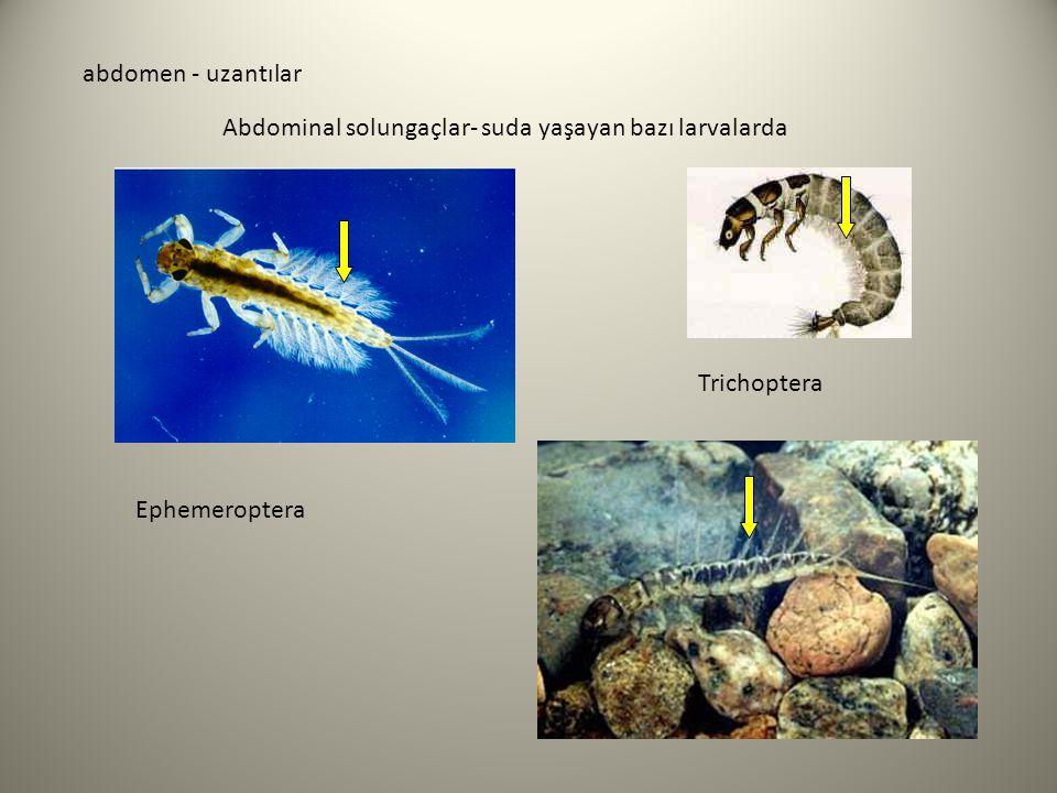 abdomen - uzantılar Abdominal solungaçlar- suda yaşayan bazı larvalarda Trichoptera Ephemeroptera