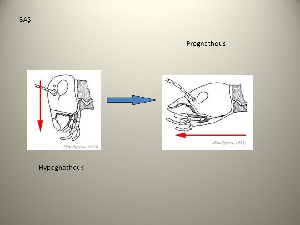 BAŞ Prognathous Hypognathous