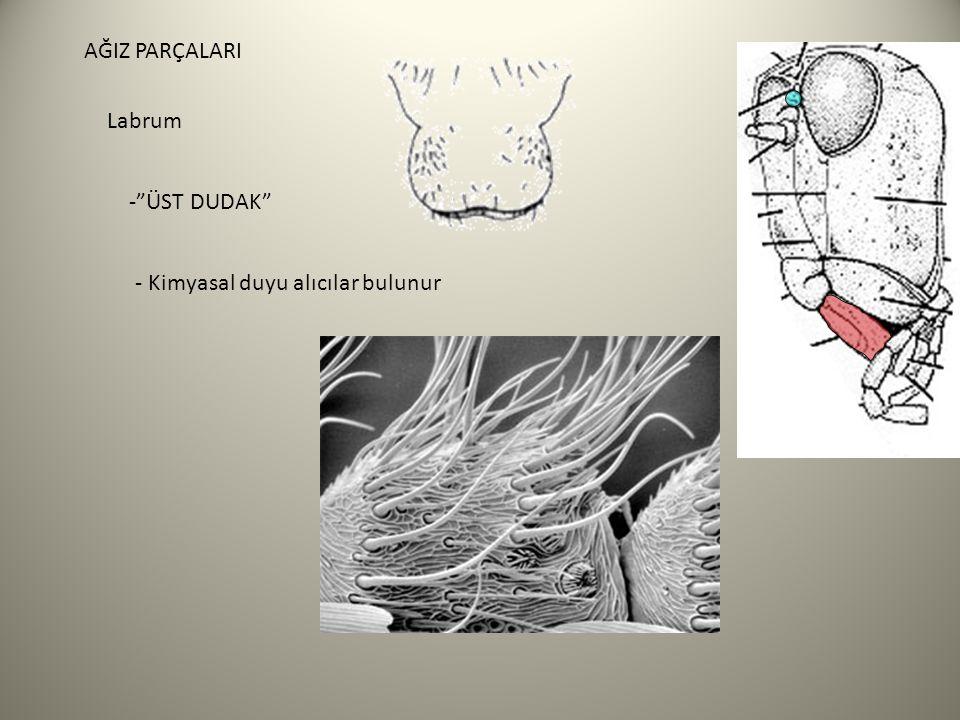AĞIZ PARÇALARI Labrum - ÜST DUDAK - Kimyasal duyu alıcılar bulunur