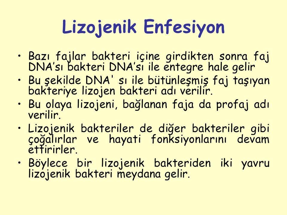 Lizojenik Enfesiyon Bazı fajlar bakteri içine girdikten sonra faj DNA'sı bakteri DNA'sı ile entegre hale gelir.