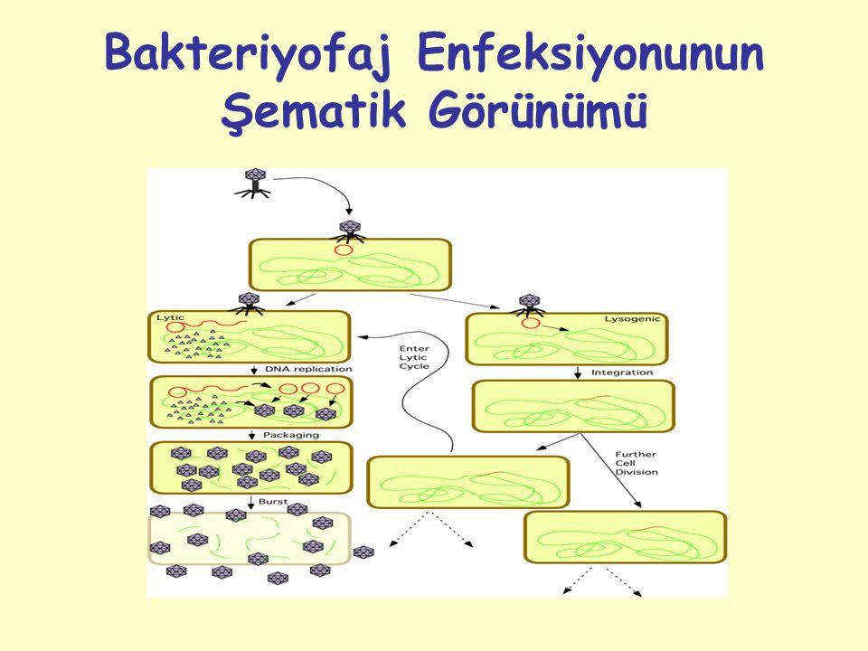Bakteriyofaj Enfeksiyonunun Şematik Görünümü