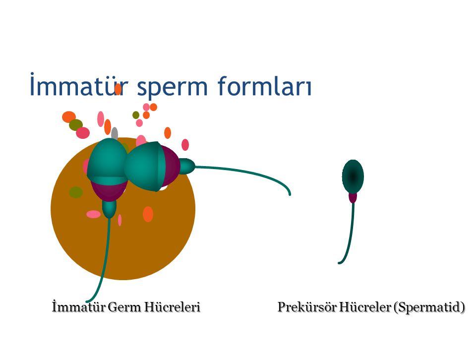 İmmatür sperm formları