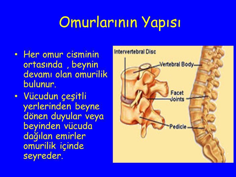 Omurlarının Yapısı Her omur cisminin ortasında , beynin devamı olan omurilik bulunur.