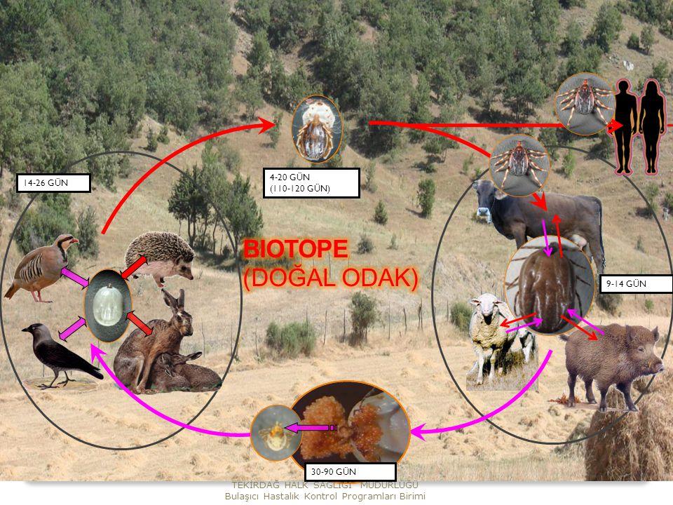 BIOTOPE (DOĞAL ODAK) 4-20 GÜN (110-120 GÜN) 14-26 GÜN 9-14 GÜN