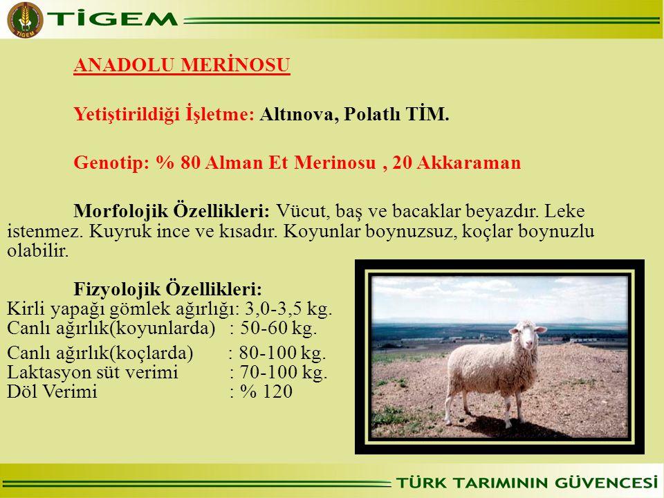 ANADOLU MERİNOSU  Yetiştirildiği İşletme: Altınova, Polatlı TİM. Genotip: % 80 Alman Et Merinosu , 20 Akkaraman.