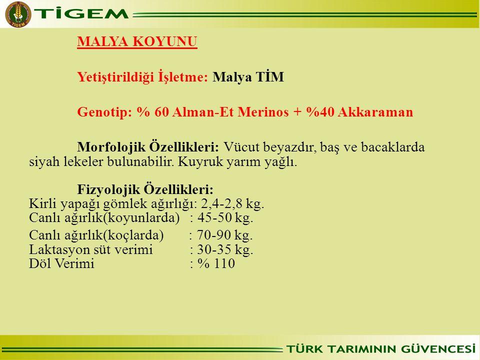 MALYA KOYUNU Yetiştirildiği İşletme: Malya TİM. Genotip: % 60 Alman-Et Merinos + %40 Akkaraman.