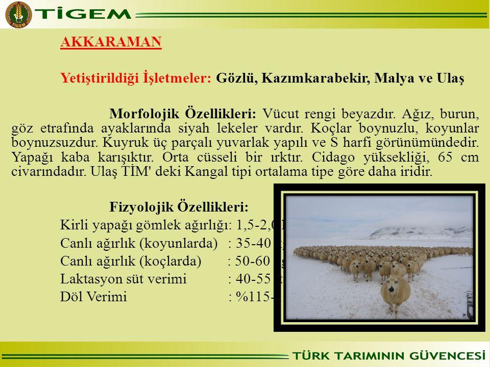 AKKARAMAN Yetiştirildiği İşletmeler: Gözlü, Kazımkarabekir, Malya ve Ulaş. 
