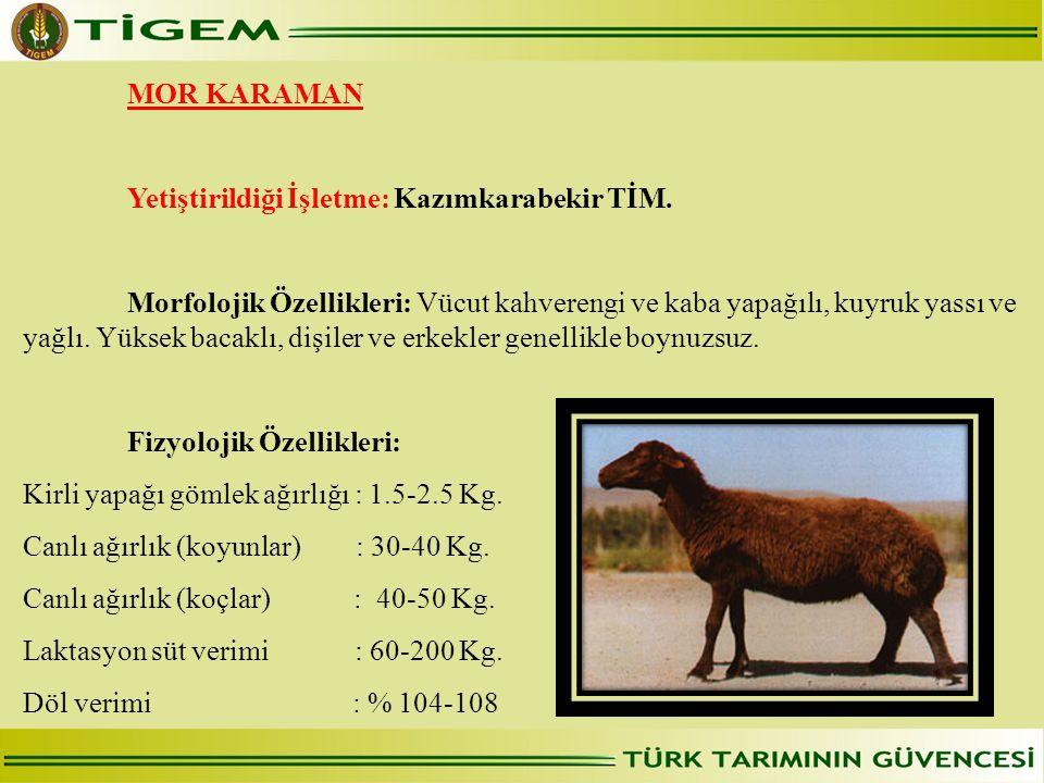 MOR KARAMAN Yetiştirildiği İşletme: Kazımkarabekir TİM.