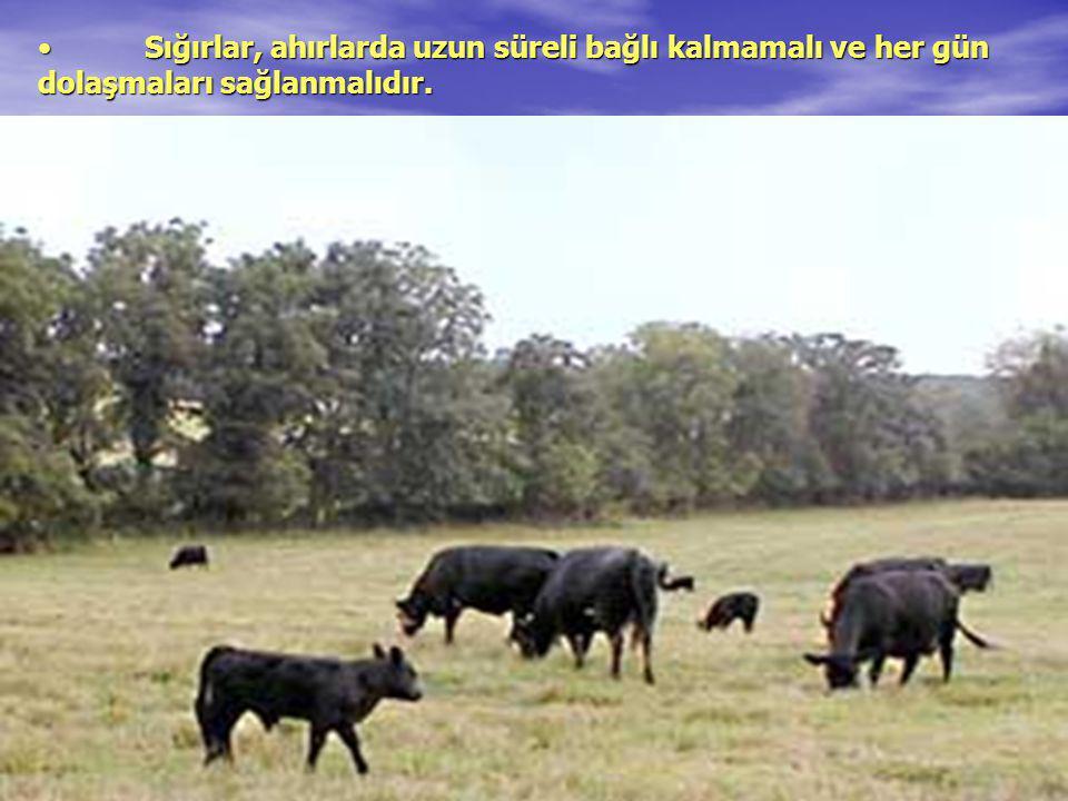 Sığırlar, ahırlarda uzun süreli bağlı kalmamalı ve her gün dolaşmaları sağlanmalıdır.