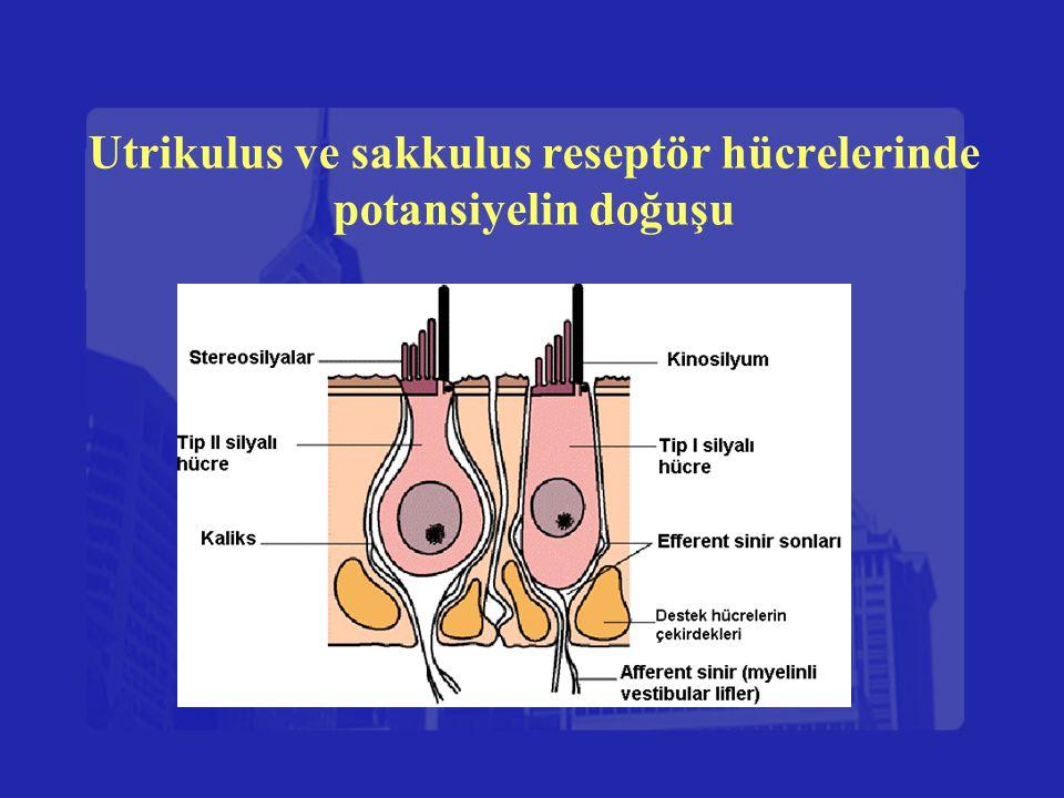 Utrikulus ve sakkulus reseptör hücrelerinde potansiyelin doğuşu