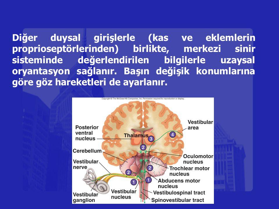 Diğer duysal girişlerle (kas ve eklemlerin proprioseptörlerinden) birlikte, merkezi sinir sisteminde değerlendirilen bilgilerle uzaysal oryantasyon sağlanır.