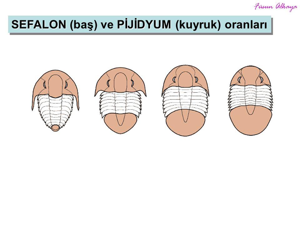 SEFALON (baş) ve PİJİDYUM (kuyruk) oranları