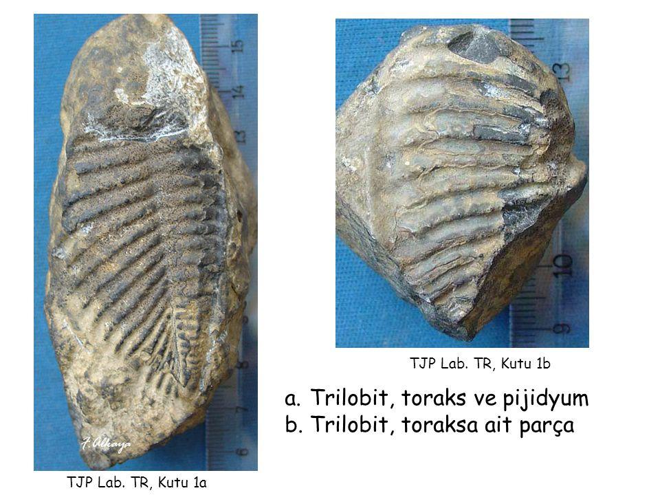 Trilobit, toraks ve pijidyum Trilobit, toraksa ait parça