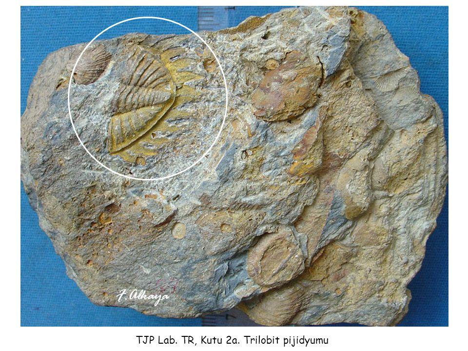 TJP Lab. TR, Kutu 2a. Trilobit pijidyumu