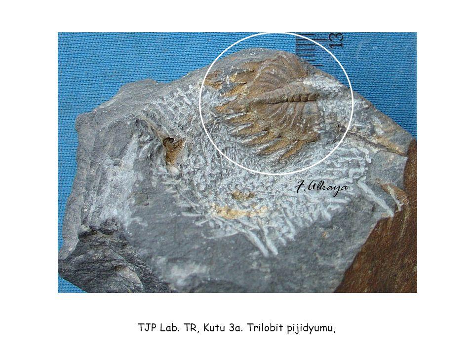 TJP Lab. TR, Kutu 3a. Trilobit pijidyumu,