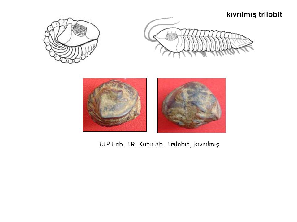 kıvrılmış trilobit TJP Lab. TR, Kutu 3b. Trilobit, kıvrılmış