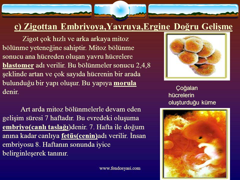 c) Zigottan Embriyoya,Yavruya,Ergine Doğru Gelişme