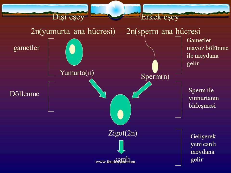 Dişi eşey Erkek eşey 2n(yumurta ana hücresi) 2n(sperm ana hücresi