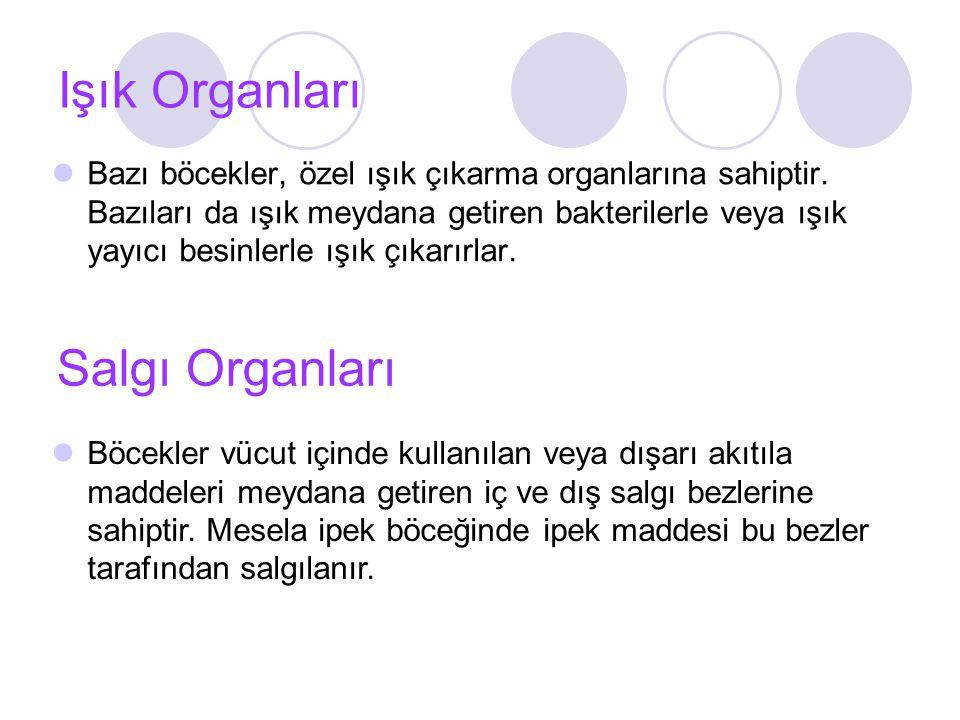 Işık Organları Salgı Organları