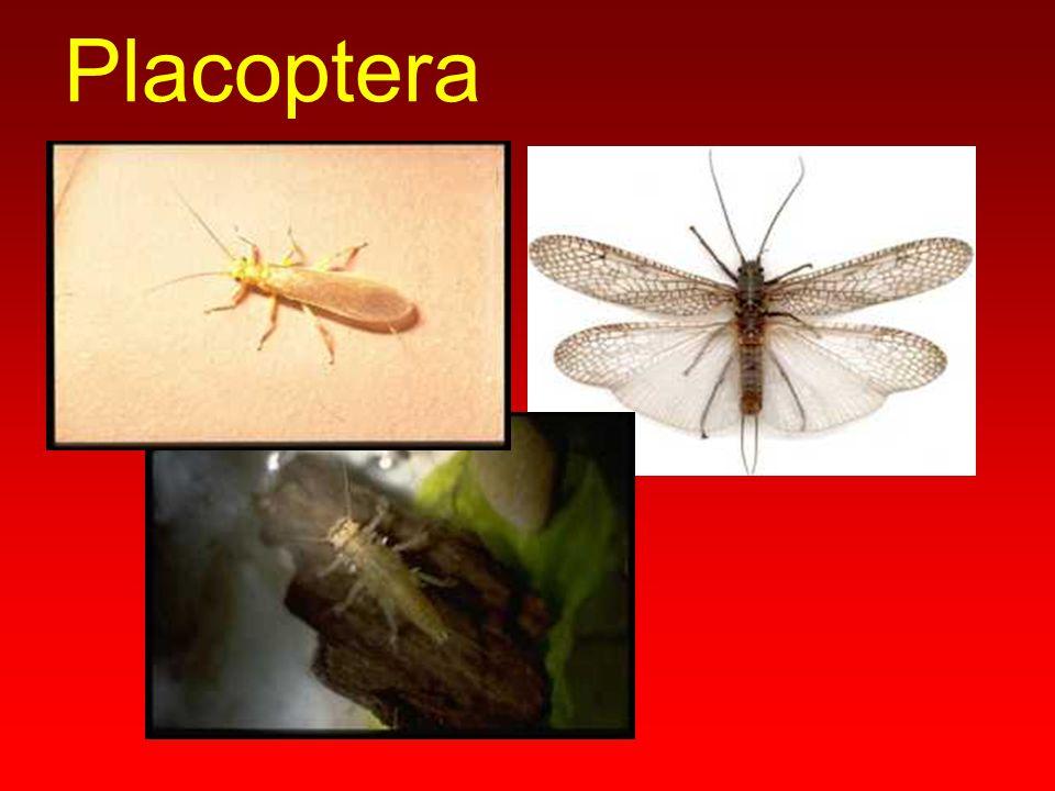 Placoptera