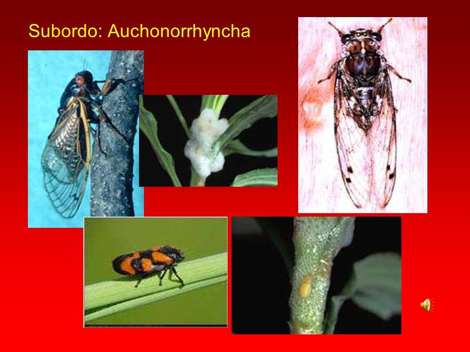 Subordo: Auchonorrhyncha